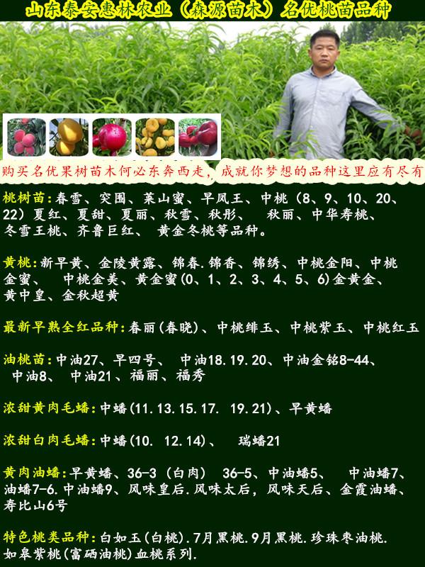 9月份成熟黄桃树苗黄金蜜四号桃苗价格