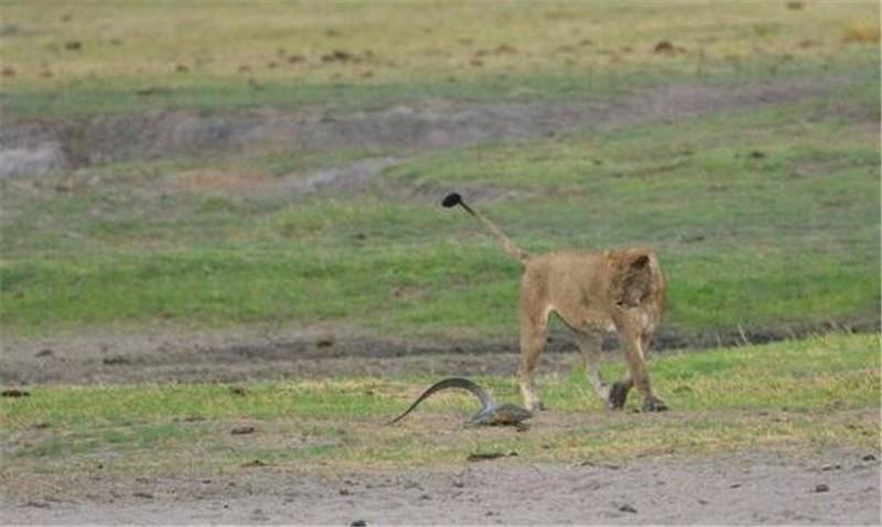 狮子围着巨蜥不停转圈,不但没吃还趴在一起看美景,啥情况?