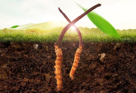 藏民讲解冬虫夏草如何辨别真假,如何挑选正宗虫草,掺假虫草有哪些