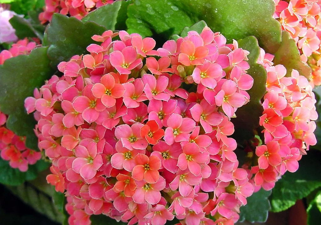 家里养的长寿花不开花?秋天养护注意这几点就好了