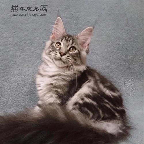 缅因猫价格多少钱一只图片