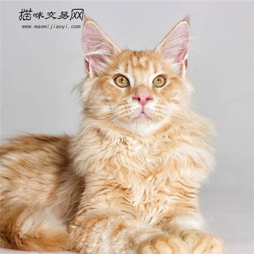 贵州缅因猫价格多少钱?一斤图片