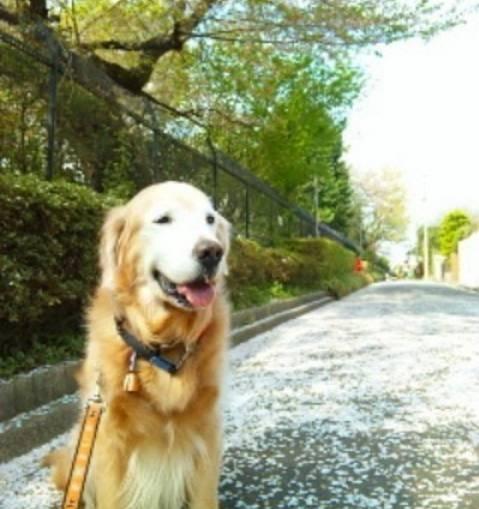 帶著救來的金毛散步,碰到前主人時,它的選擇讓我驚訝!