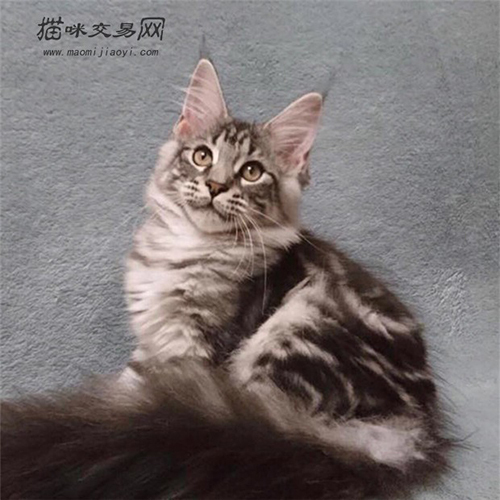 缅因猫图片大全 巨型图片