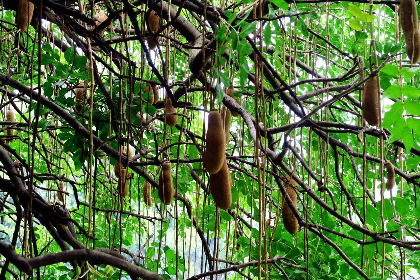 旅游 正文  位于太平洋彼岸的美国达州,有一颗神奇的大树,名字叫做图片