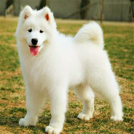 萨摩犬多大_萨摩耶犬多少钱一只