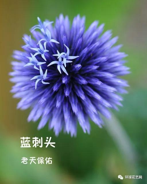 为地区蓝攻略属刺头,主要分东京欧洲布于植物,俄罗斯,天山中部及南部去新疆住宿菊科图片