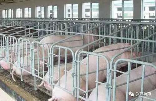 这就是我们看到的母猪不发情没有子宫感染症状,发情之后大量流出白色图片
