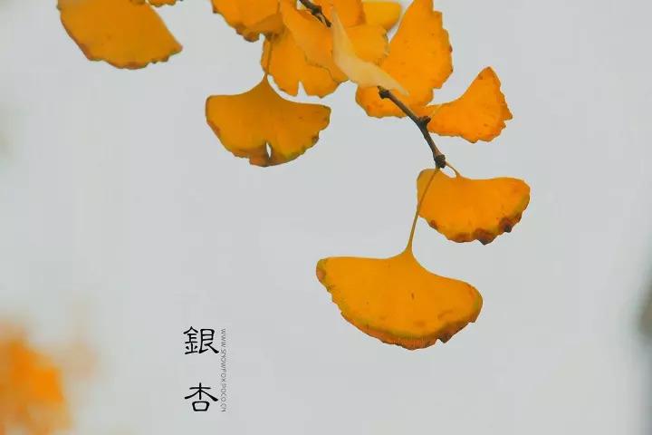 ③ 逆光:较适合拍摄特写或中景等,曝光准确时银杏和叶片的质感能得到图片