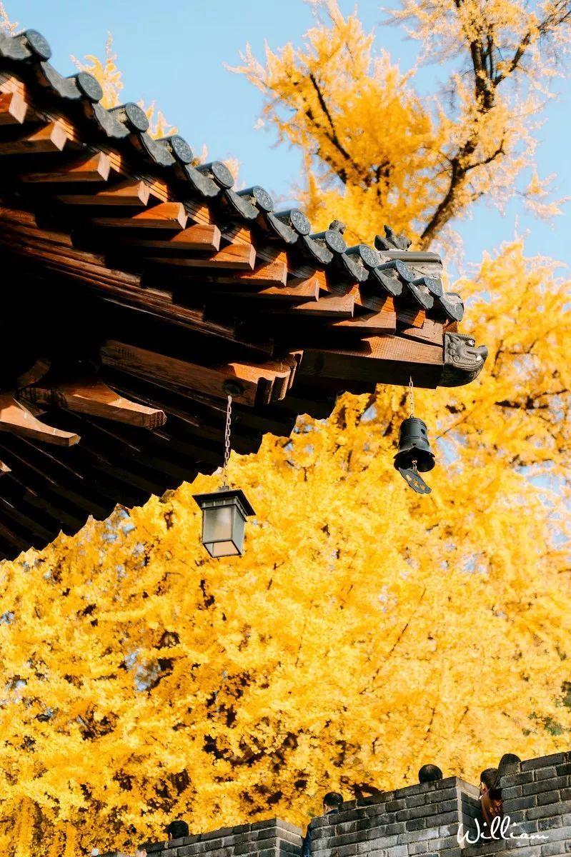 西安成秋满长安的画中江湖 李世民栽了一棵银杏树美了1400年!