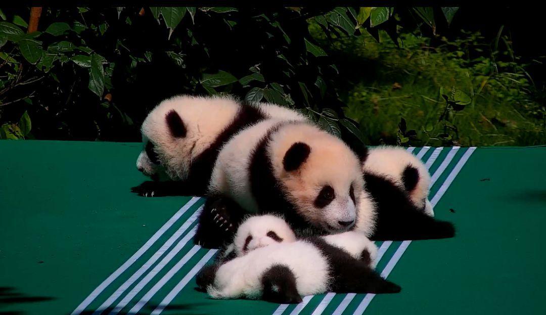 大熊猫奥莉奥出生于2012年7月28日,因拥有16:9的宽屏大脸而走红网络.
