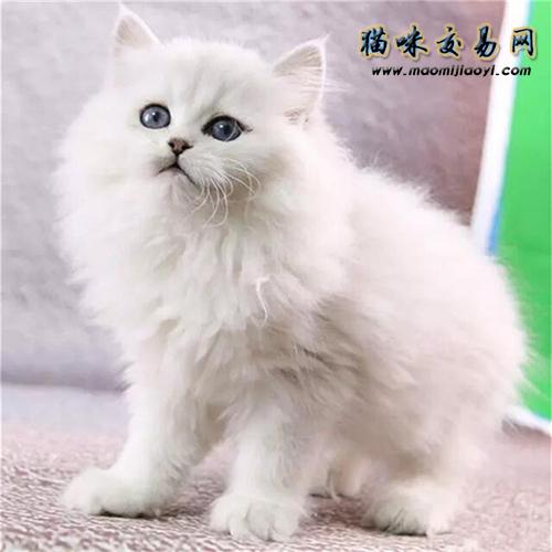 金吉拉猫好不好养图片