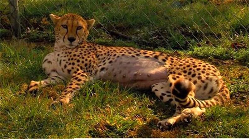 母豹早产,剖腹产下5只幼崽,宝宝眼睛还没睁开就急着找奶吃