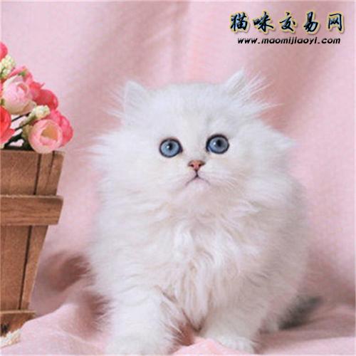 养金吉拉猫血泪史图片