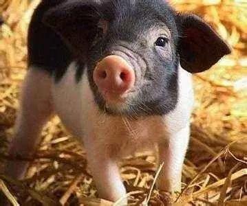 蝶耳招财招福、牛眼睛炯炯有神.真的是萌物一只.   说你和猪一样,