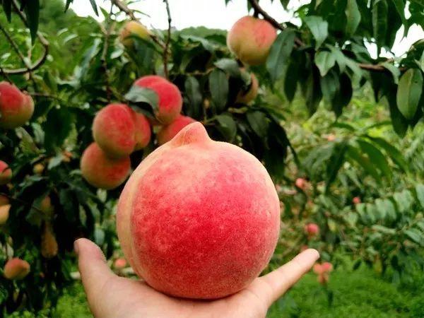 正所谓好山好水育好果 这里的桃树枝繁叶茂,鲜果垂枝 弥漫着桃的清香图片