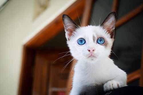 布偶猫做绝育多少钱图片