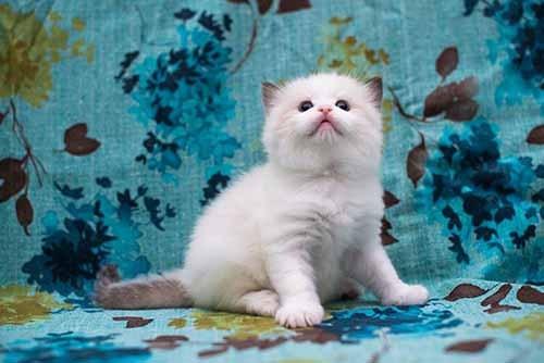 布偶猫多大可以绝育手术图片