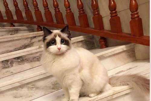 布偶猫做绝育手术多少钱图片