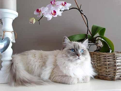 布偶猫做绝育几天能恢复图片