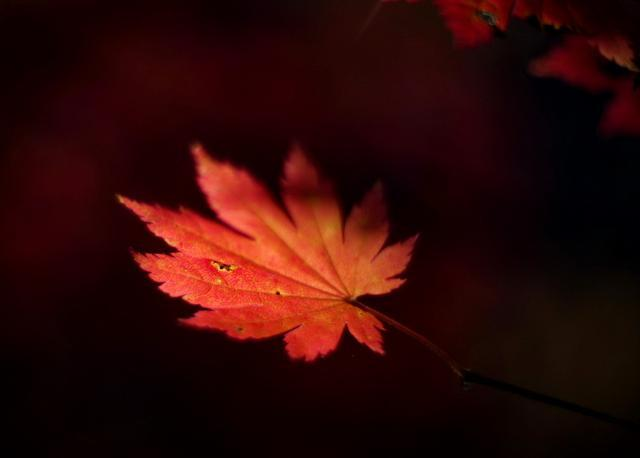 辽东枫叶啥时好看?本溪老边沟打探,今年最红将从十月四日开始