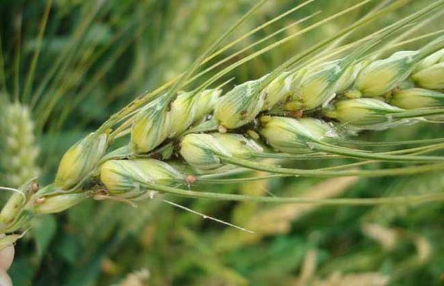 种小麦常见的地下害虫和地上害虫有哪些?该如何预防和防