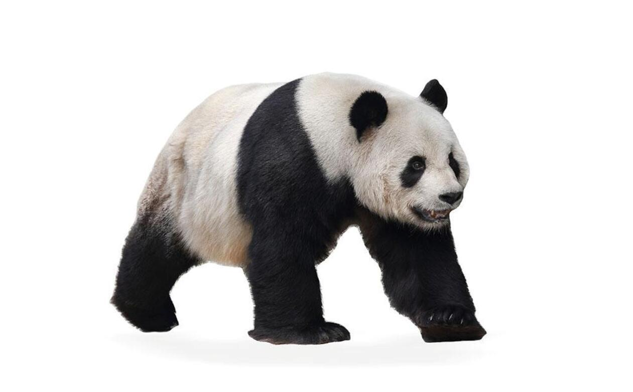 大熊猫爱吃竹子的秘密 你知道吗