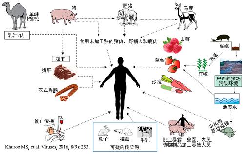 戊型肝炎,一种人畜共患疾病