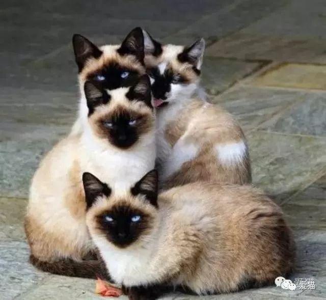 暹罗猫会变黑吗图片