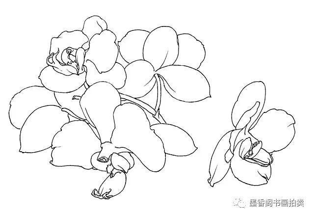 历史 正文  步骤一:仔细观察蝴蝶兰花头的形状,并绘制出整个花头.