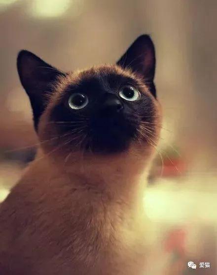 暹罗猫为啥会变黑图片