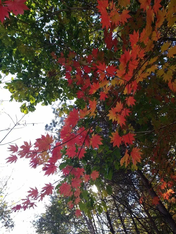带着相机留下天女木兰的圣洁;金秋送爽,一丛金黄,一丛火红的枫叶美不