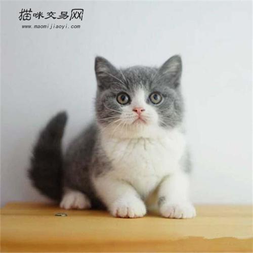 怎么看英短蓝白品相 英短蓝白小猫怎么看品相