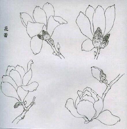 工笔绘画技法:玉兰花线描画谱图片
