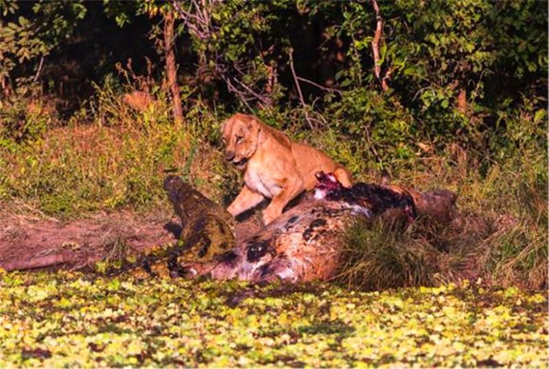 """狮子咬死鳄鱼_狮子在吃肉,鳄鱼大胆上前抢食,没想到狮子来个""""死亡之吻 ..."""