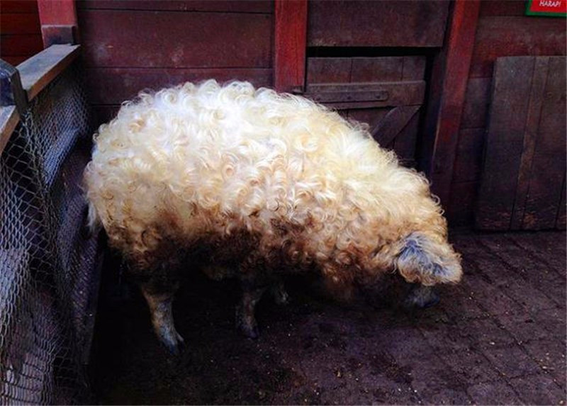 家豬身上長滿卷毛,毛絨絨酷似綿羊,網友:你是被羊精附體了嗎-華夏娛樂360