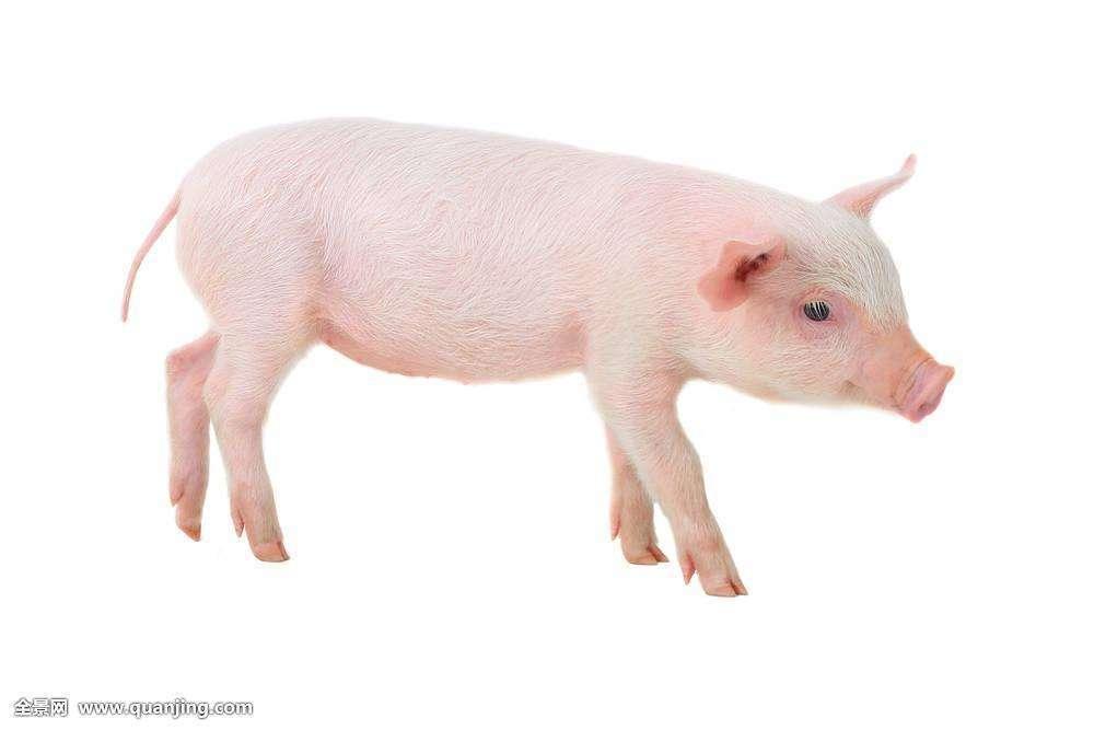 女人梦见猪跑了白色的