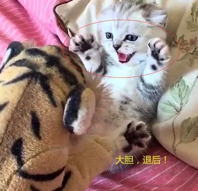 主人拿假老虎嚇唬奶貓,貓咪當即炸毛,模樣可愛到犯規-華夏娛樂360