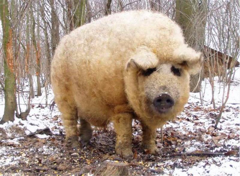 家豬身上長滿卷毛,毛絨絨酷似綿羊,網友:你是被羊精附體了嗎