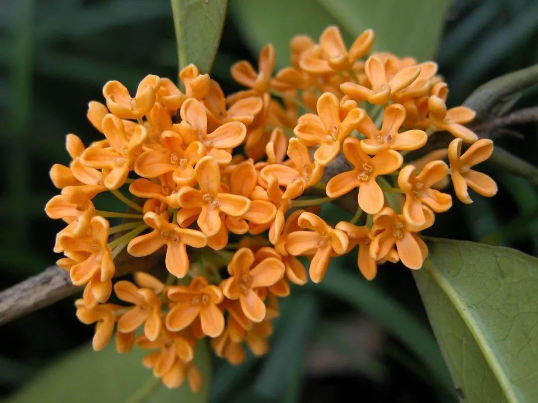 目前,植物园开放的桂花品种有波叶金桂,佛顶珠,杭州黄,晚馨,朱砂丹桂图片