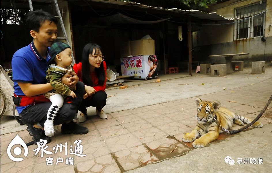 9岁女孩牵绳遛老虎!女孩父亲:老虎还小跟遛狗近似