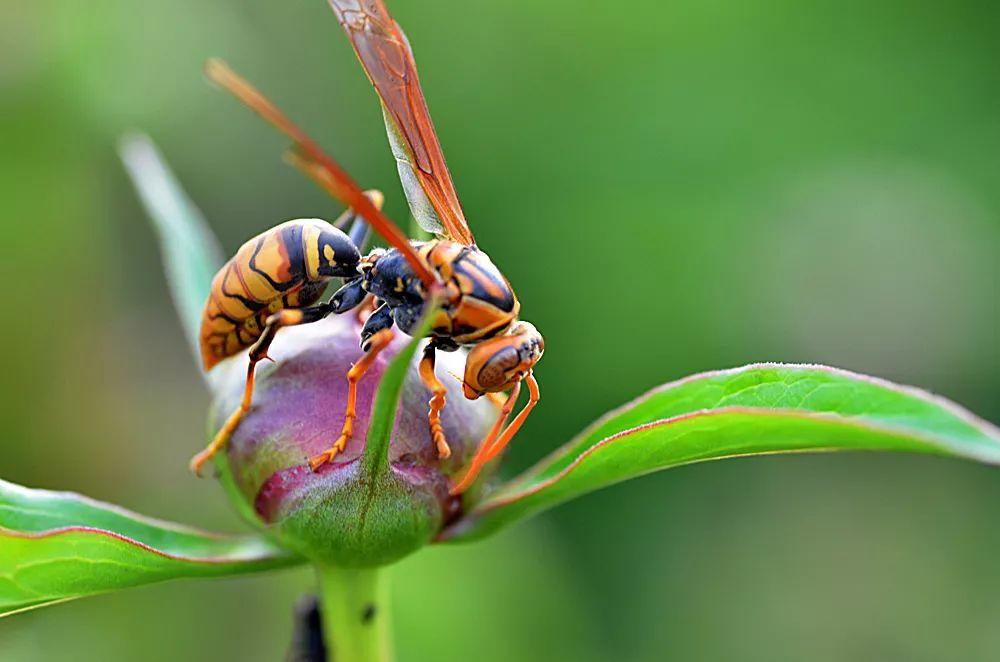 秋季马蜂横行,有两人被围攻,一人死亡,一人住进ICU!