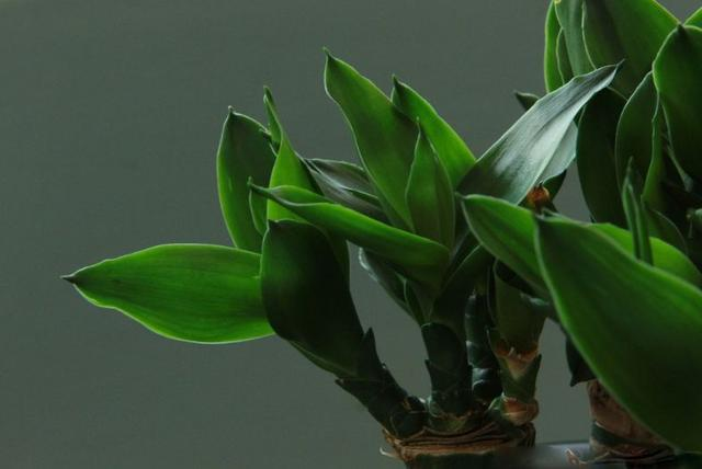 用这种水养富贵竹,枝繁叶茂,生长会非常快,还能长出小白花图片