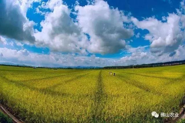 美到窒息!佛山及周边黄金稻田进入最佳观赏季,一起去浪!