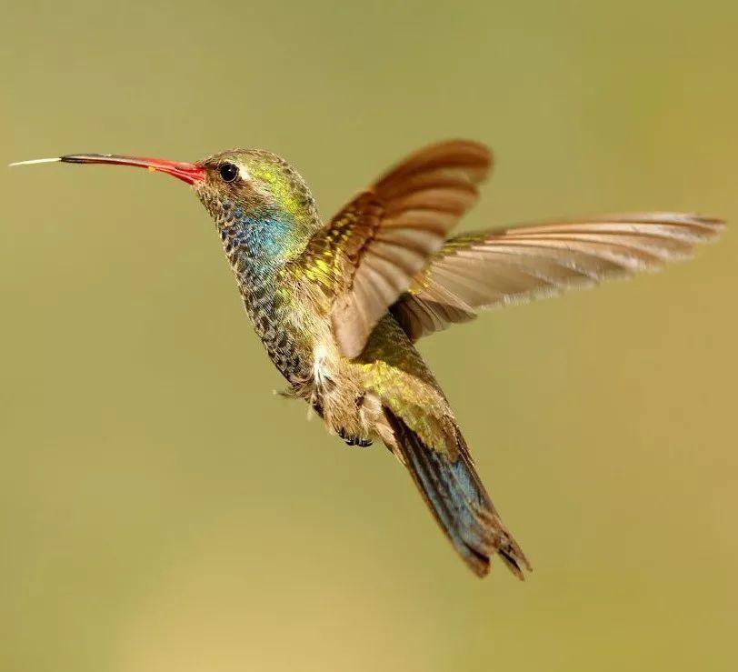 一只蜂鸟一天吃多少东西,说出来会吓到你!