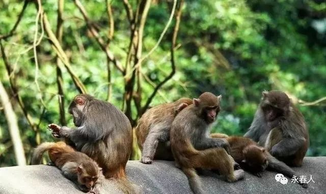 旅游 正文  牛姆林最有意思的就是猕猴园了.图片