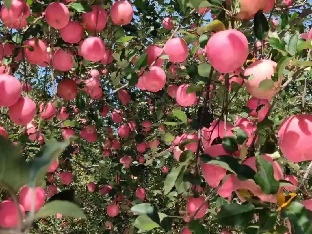 最美的丰收盛景在寺河山,最甜的灵宝苹果是自己摘!