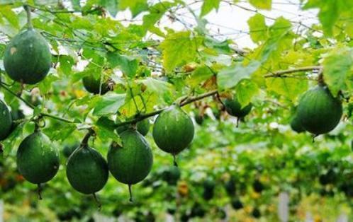 农村老头种植瓜蒌,带领村民致富