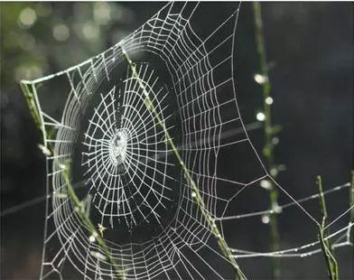媲美合金钢的强度和韧性的蜘蛛丝