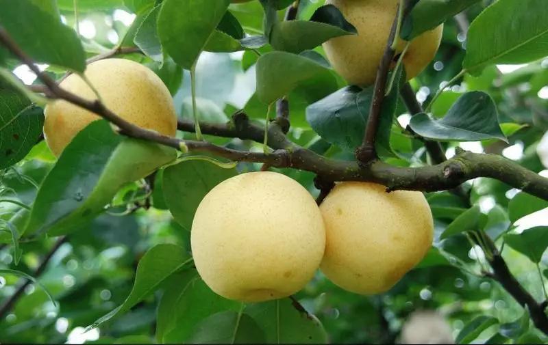 冬季养生吃什么?12种冬季养生水果推荐!记住这些,温暖过冬!